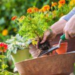 Frau pflanzt eine Blume ein